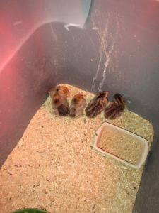 5 baby chicks